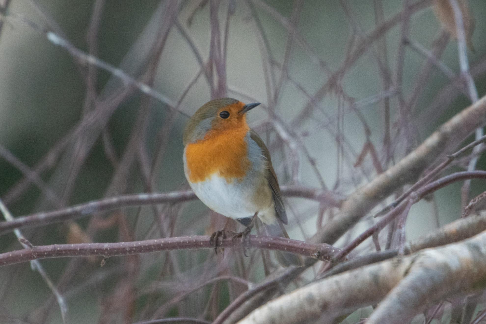 Rouge-gorge European robin